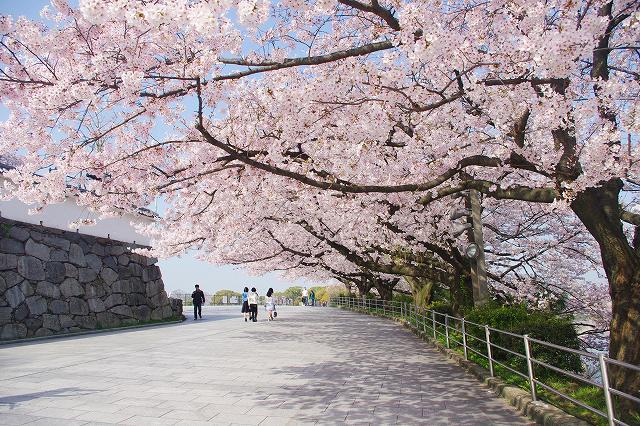 福岡バイクツアーページの桜が咲く春に福岡城を自転車で走る写真